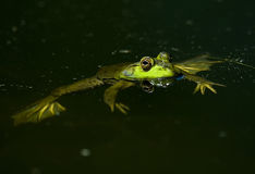 美国牛蛙 库存图片