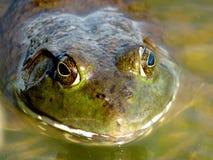 美国牛蛙 免版税图库摄影