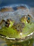 美国牛蛙 库存照片