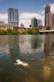 美国牛头犬在科罗拉多河街市奥斯汀得克萨斯游泳 免版税图库摄影