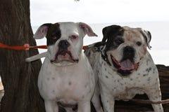 美国牛头犬开普勒和Bubba 免版税库存图片