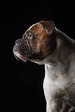 美国牛头犬,狗行动在水中,含水射击 库存图片