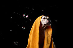 美国牛头犬,狗行动在水中 库存图片