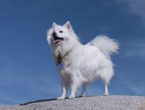 美国狗爱斯基摩-阿留申语 冷饮保藏盒Eskie 愉快的白色狗 免版税图库摄影