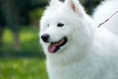美国狗爱斯基摩-阿留申语 免版税图库摄影