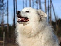 美国狗爱斯基摩-阿留申语 免版税库存照片