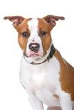 美国狗stafford 免版税图库摄影