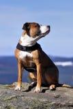 美国狗stafford 免版税库存图片