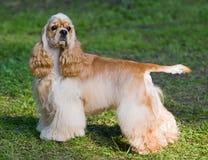 美国猎犬 免版税库存图片