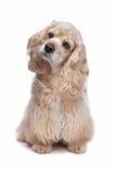 美国猎犬 图库摄影