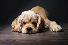美国猎犬 免版税库存照片
