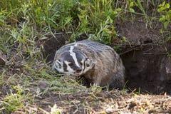 美国獾 库存照片