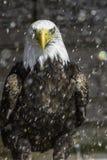 美国白头鹰在雨-瞬膜中 免版税图库摄影
