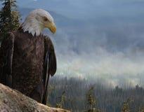 美国白头鹰家破坏 免版税库存照片