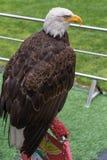 美国白头鹰的画象在足球场里面的 库存图片