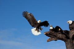美国白头鹰 库存照片