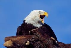 美国白头鹰 免版税图库摄影