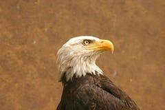 美国白头鹰 图库摄影