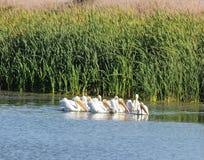 美国白色鹈鹕在一个湖在圣拉斐尔 免版税库存照片