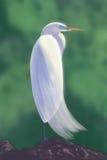 美国白鹭 库存照片
