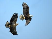 美国白头鹰争斗 库存图片