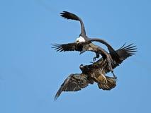 美国白头鹰争斗 免版税库存照片