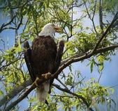 美国白头鹰气喘 库存照片
