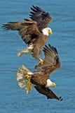 美国白头鹰的 库存图片