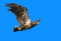 美国白头鹰青少年 库存照片