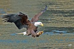 美国白头鹰鱼劫掠 免版税图库摄影