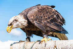 美国白头鹰,特写镜头 库存图片