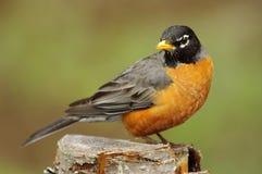 美国知更鸟& x28; 画眉类migratorius& x29; 免版税图库摄影