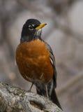 美国知更鸟 免版税图库摄影
