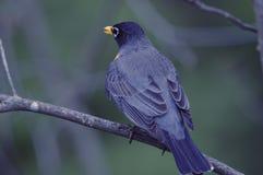 美国知更鸟& x28; 画眉类migratorius& x29; 免版税库存图片