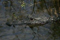 美国短吻鳄关闭 免版税库存照片