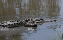 美国短吻鳄在水中关闭 免版税库存图片