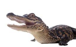 美国短吻鳄小鱼苗与黄色和黑条纹的 免版税库存图片