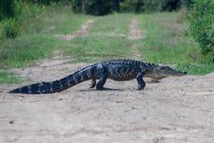 美国短吻鳄横穿土路 免版税库存照片