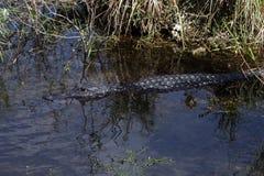 美国短吻鳄游泳 库存图片