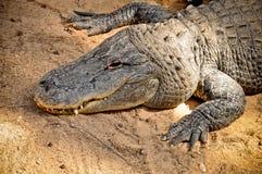 美国短吻鳄纵向 免版税图库摄影