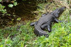 美国短吻鳄鳄鱼mississippiensis 库存照片
