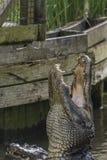 美国短吻鳄鳄鱼mississippiensis 图库摄影
