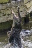 美国短吻鳄鳄鱼mississippiensis 免版税库存图片