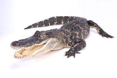 美国短吻鳄,鳄鱼mississippiensis 图库摄影