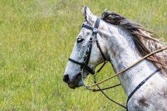 美国短距离冲刺的马画象,加利福尼亚 图库摄影