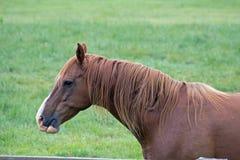 美国短距离冲刺的马在牧场地 图库摄影