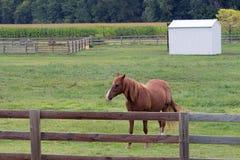 美国短距离冲刺的马在牧场地 免版税图库摄影