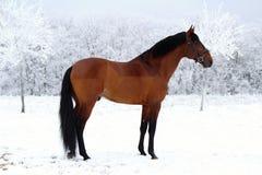 美国短距离冲刺的马的画象 库存图片