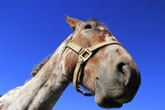 美国短距离冲刺的马,落矶山,科罗拉多画象  库存图片