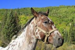 美国短距离冲刺的马,落矶山,科罗拉多画象  图库摄影